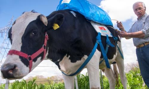 vaca_argentina