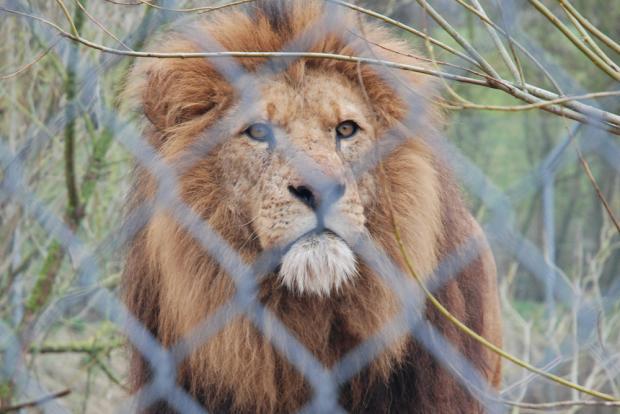 1344143_47392072-lion