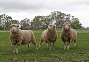 1398864_merino__sheep