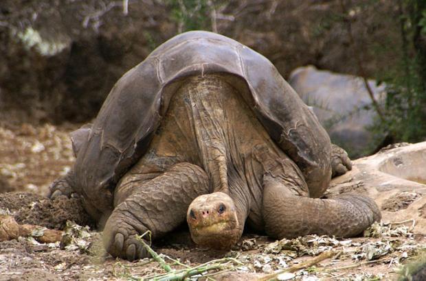 800px-lonesome_george_-pinta_giant_tortoise_-santa_cruz-2