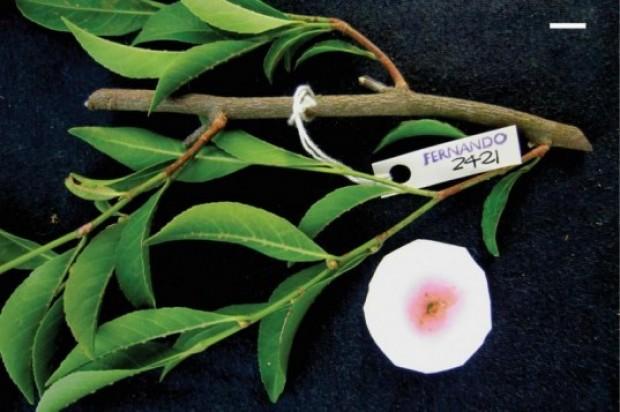 Rinorea-niccolifera-537x357
