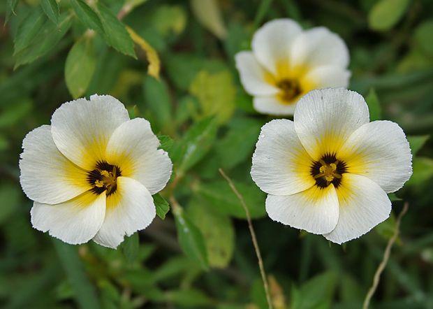 Turnera-ulmifolia-panc