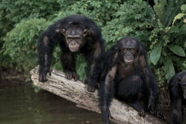 Untitledchimpaz