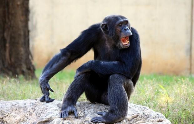 ape-88997_640