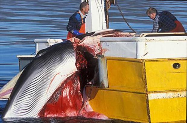 baleia-minke-capturada-pelo-islandia-500