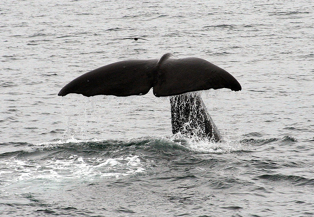 baleiajapa