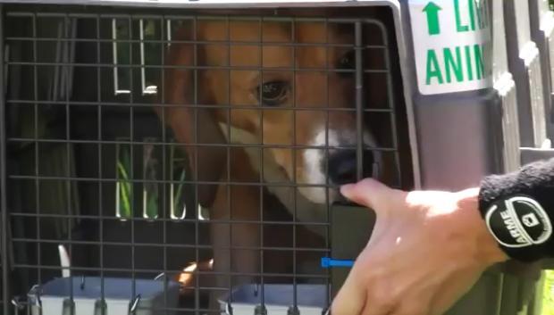 Beagles usados como cobaias veem luz do sol pela primeira vez