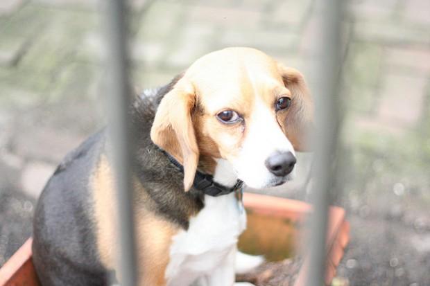 beagle_dog_ciclovivo_relatorio