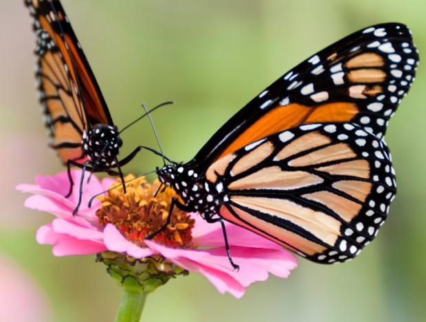 butterflies-zoom