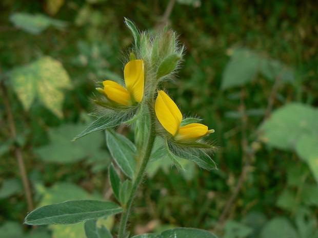 crotalaria.mg