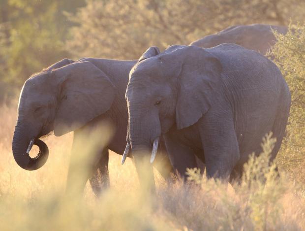 elephants-zoom
