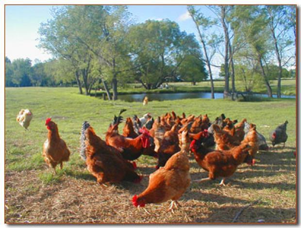 freechickens