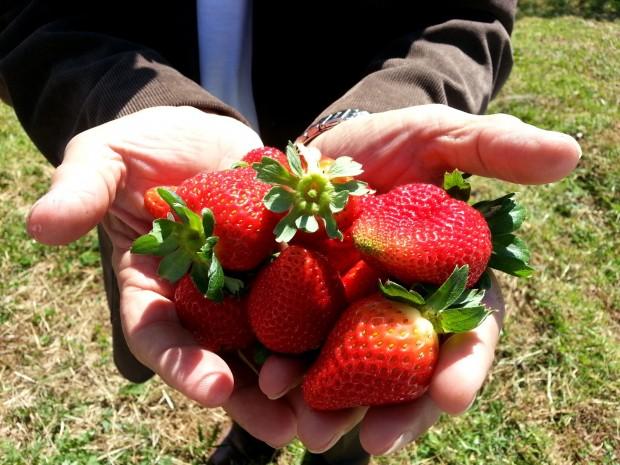 frutaria1-morangos-fazenda
