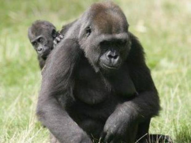 gorilla__baby__port_lympne_copyright_tim_gander_2_1268571281_0