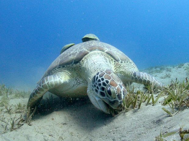 green-turtle-feeding