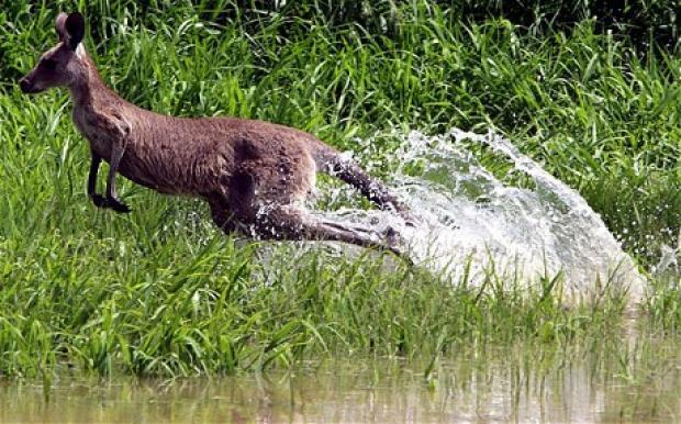 kangaroo-rockhampt_1804575c