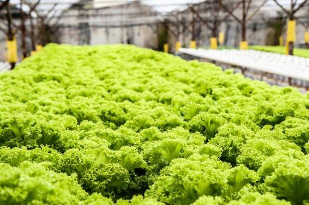 lettuce-139602_640
