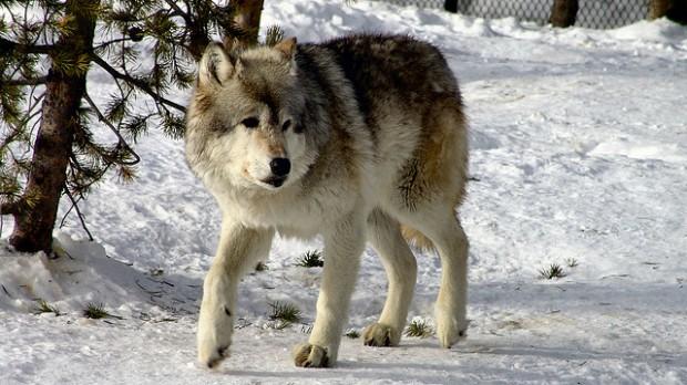 Vídeo explica como os lobos mudaram o curso dos rios no Parque Yellowstone
