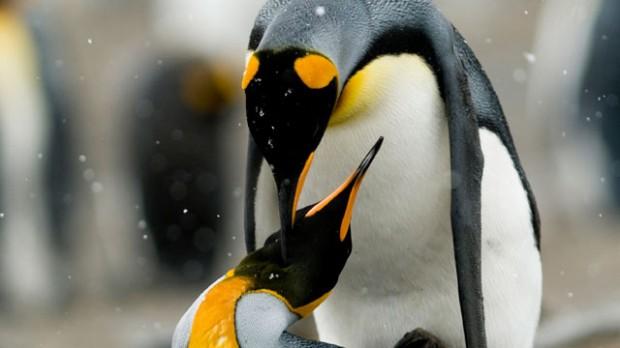 pinguim-casal-animal-planet-1