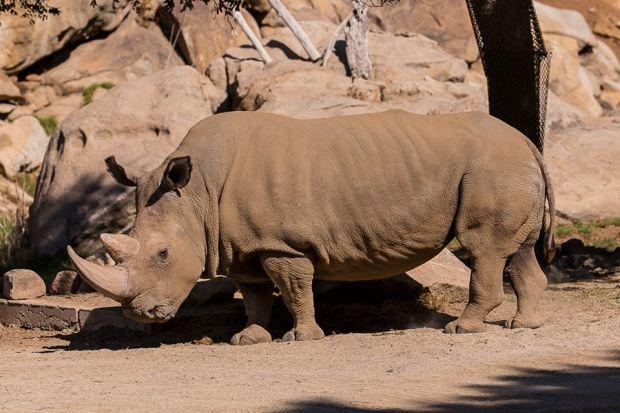 rhinosandiegozoo