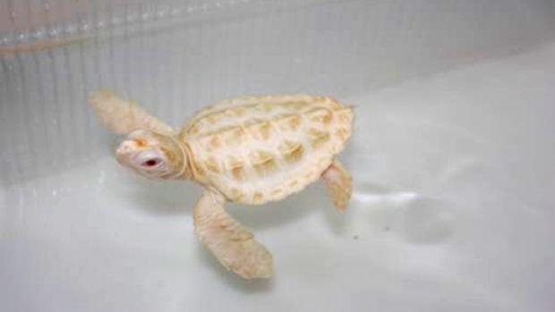 tartaruga-albina-filhote-tamar-ubatuba
