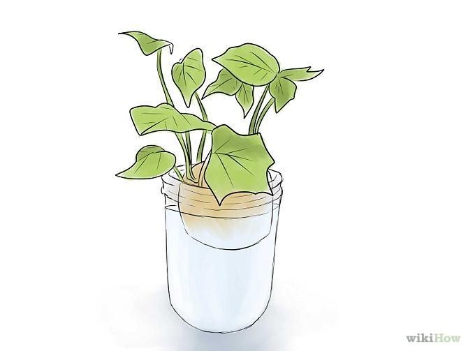 plantar_batata