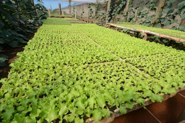 Rúcula, alface, couve, repolho, espinafre são algumas das espécies cultivadas. | Foto: Omar Freire/Imprensa MG
