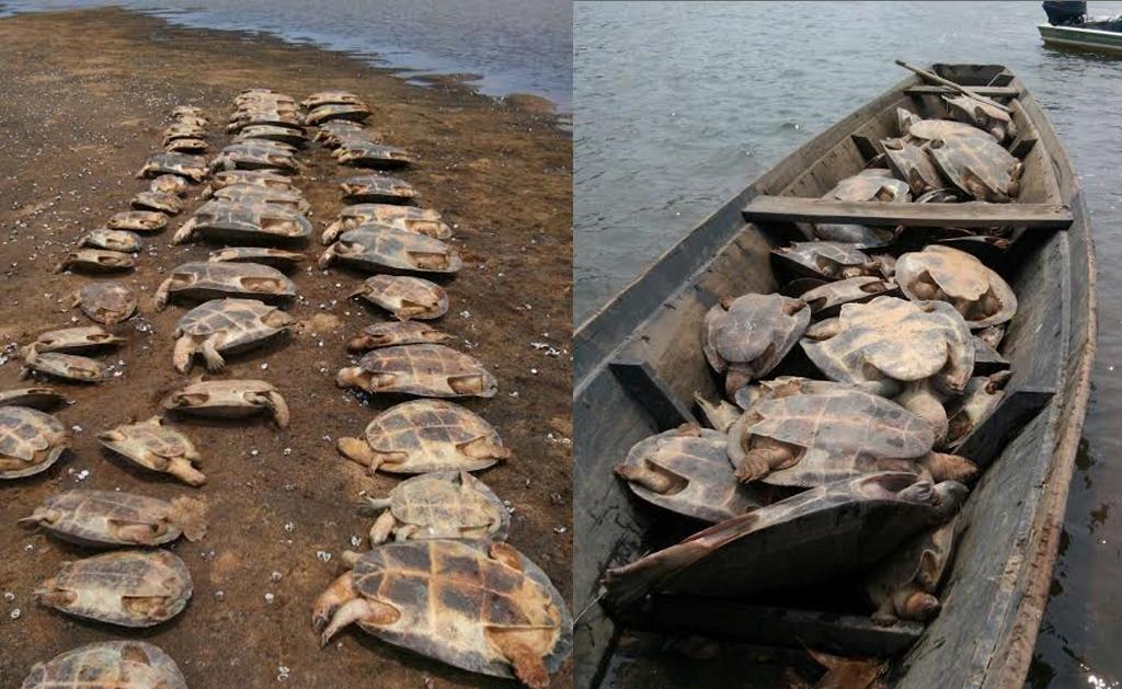 111 tartarugas são resgatadas em Roraima