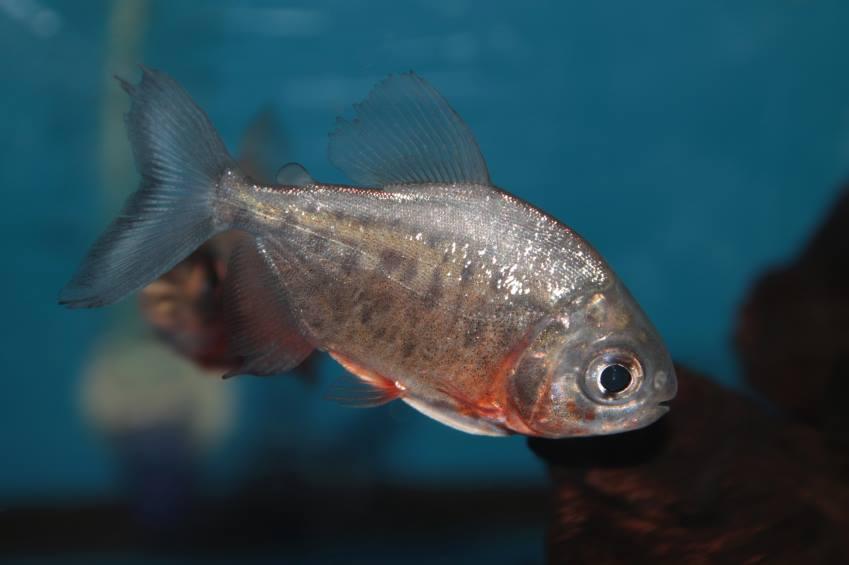 Belo Monte coloca em risco 50 espécies de peixes, diz Science