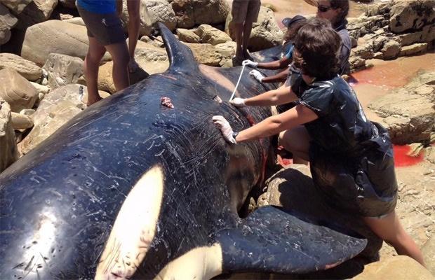 Baleia morta na África do Sul tinha estômago cheio de plástico