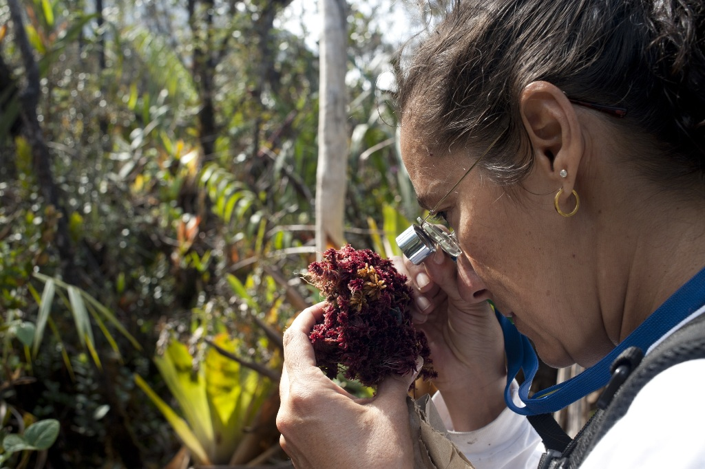 Pesquisadora Denise Pinheiro examina espécime no Pico da Neblina. | Foto: Ricardo Azoury