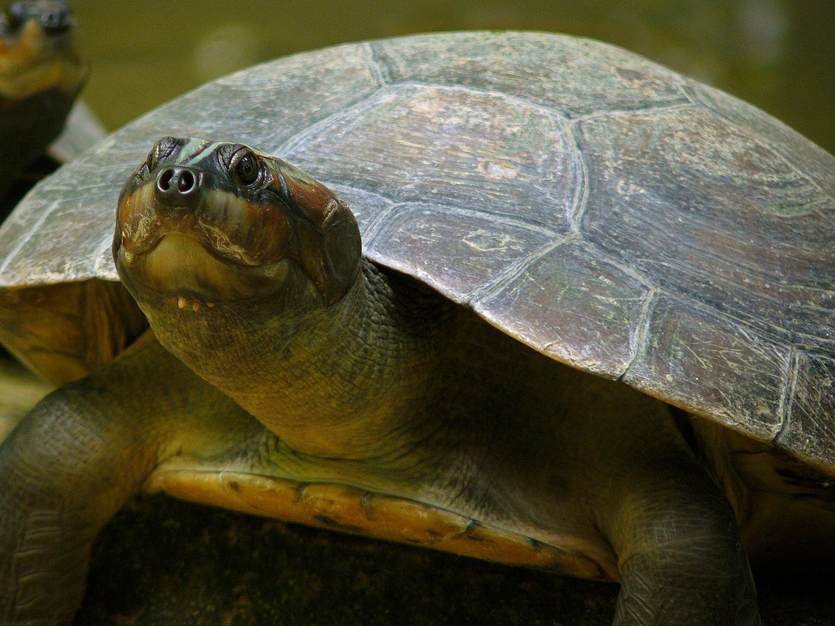 Mudanças climáticas prejudicam reprodução da Tartaruga-do-Amazônia
