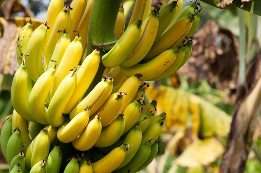 Tratamento de água com bananeiras é tema de curso gratuito em SP