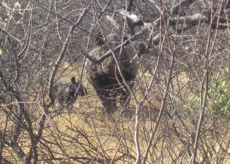 Quênia registra nascimento do primeiro rinoceronte negro em 25 anos