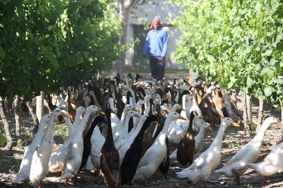 Vinícola usa patos para substituir agrotóxicos e adubar vinhedos