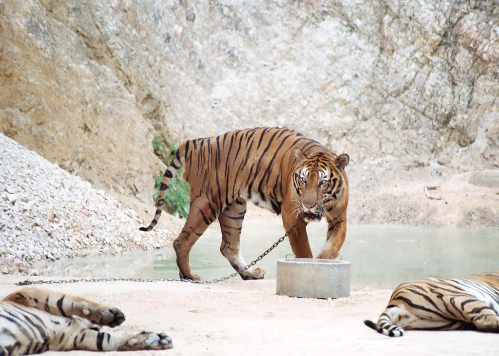 Operação encontra 40 filhotes de tigres mortos em templo budista na Tailândia
