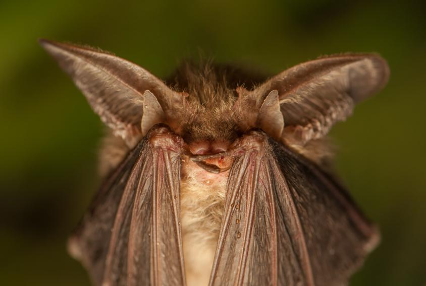 EUA usam morcegos para combater naturalmente os Aedes aegypti
