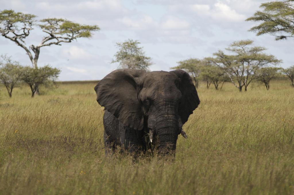 Situação dos elefantes na África é pior a cada dia