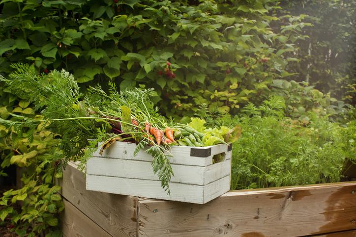 Alelopatia combina plantas para evitar naturalmente doenças em cultivo orgânico