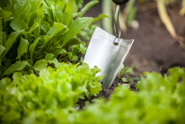Macro photo of metal hand shovel and lettuce bed