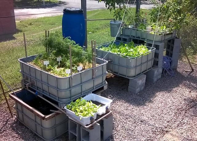 Horta integrada com criação de peixes economiza 90% de água e elimina químicos