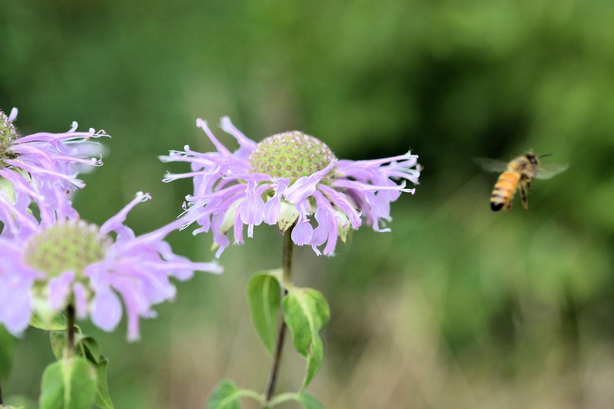 Cidade nos EUA vai transformar terrenos inutilizados em santuários de abelhas