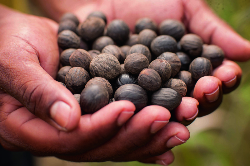 Uso cosmético da semente de ucuuba ajuda a preservar 65 mil hectares de Floresta Amazônica