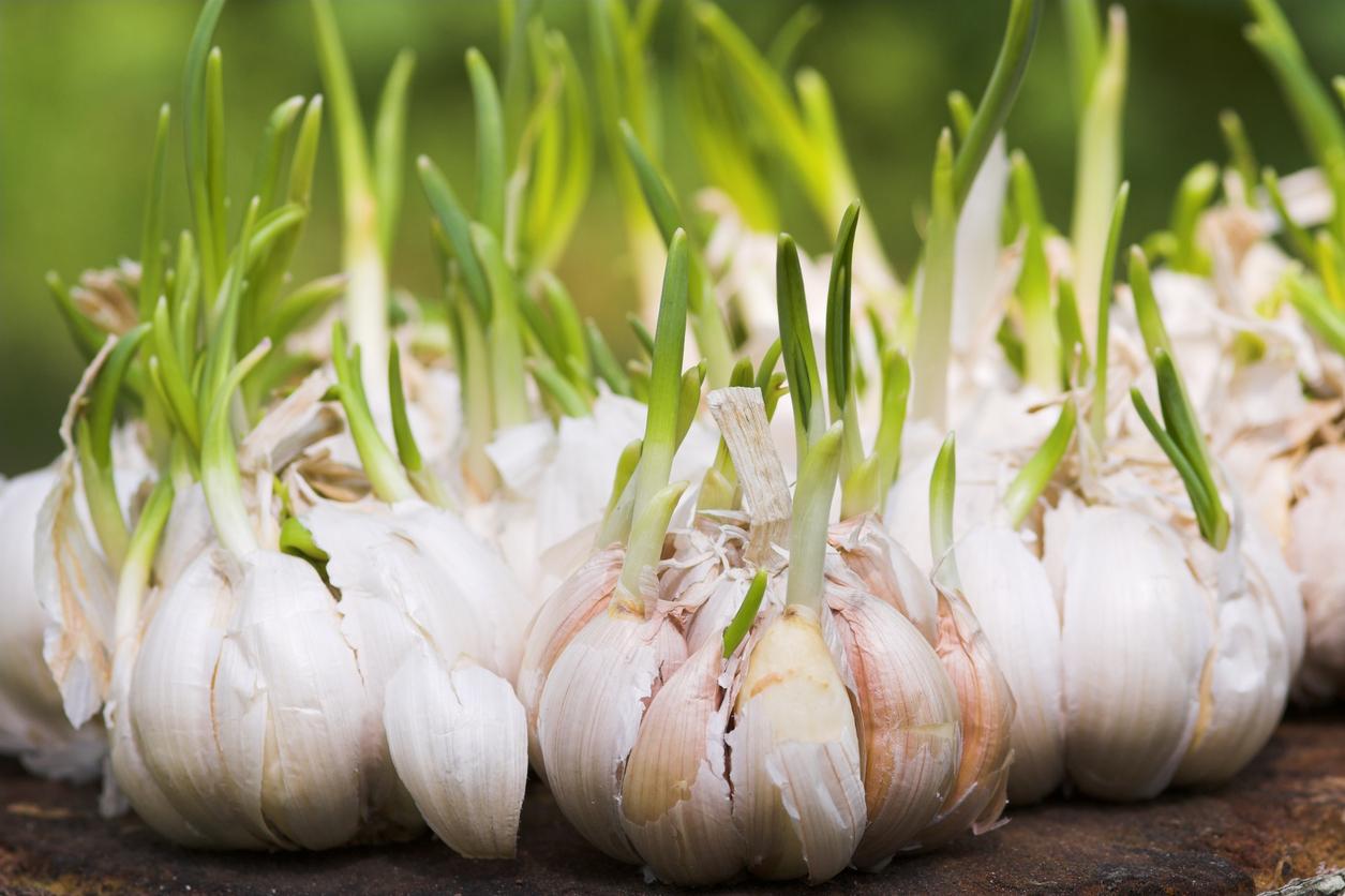 Como plantar alho orgânico em casa
