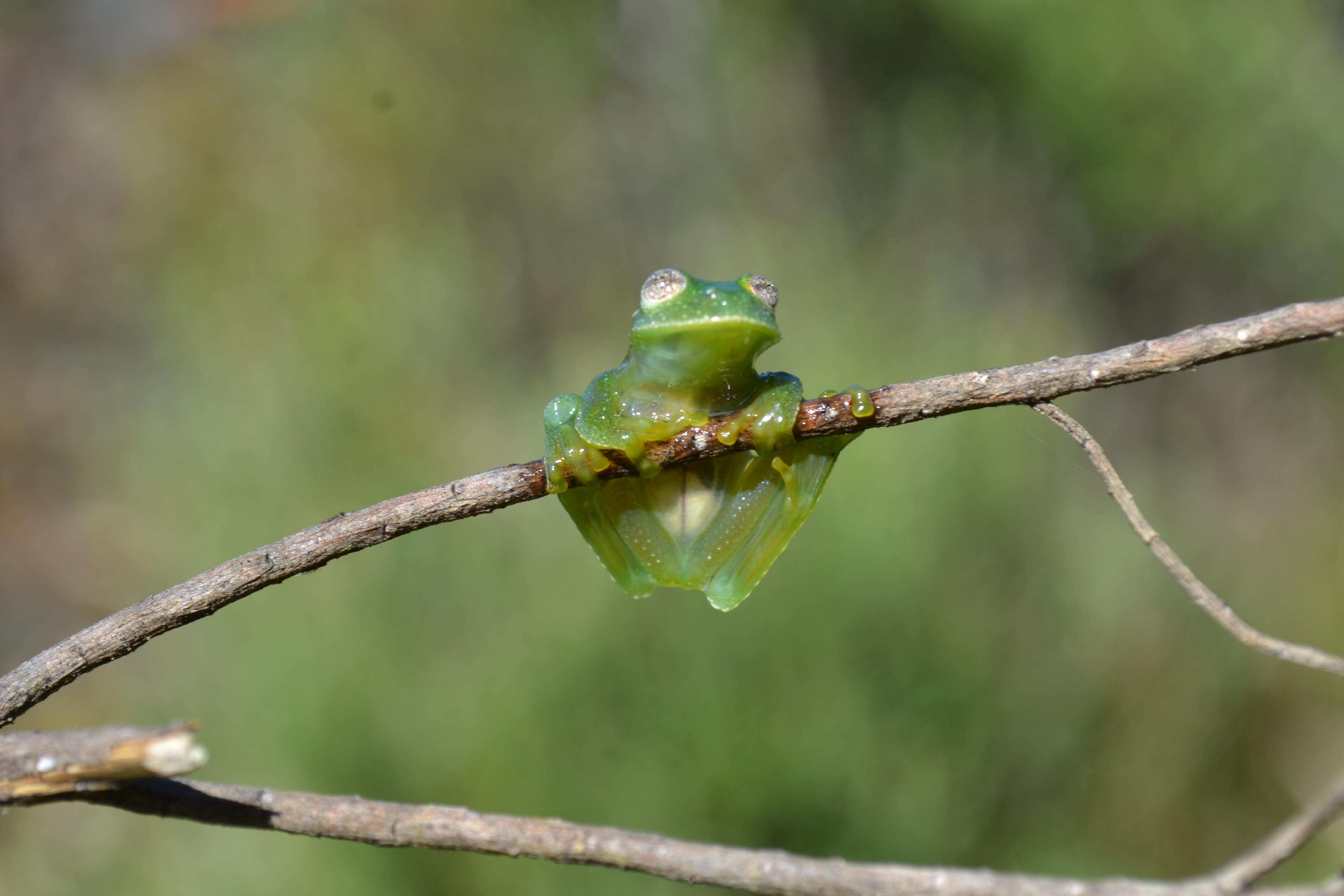 Anfíbio raro em risco de extinção é identificado em Santa Catarina