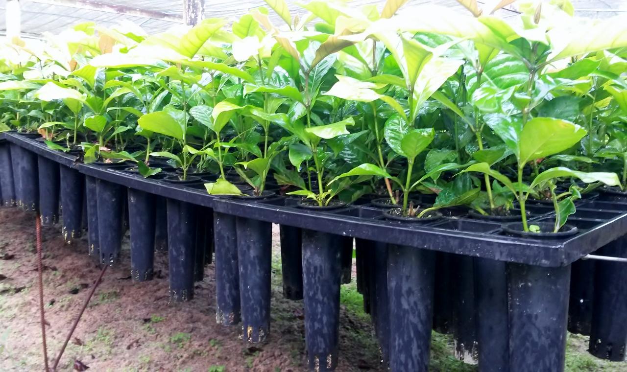Reciclando cápsulas, Dolce Gusto distribui 1,6 milhão de tubetes de mudas de café
