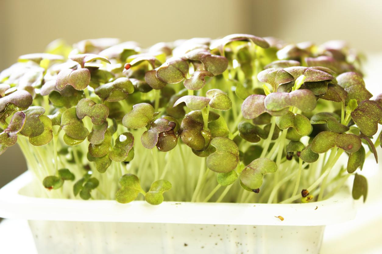 Microgreens: saiba o que são e como cultivá-los de forma orgânica