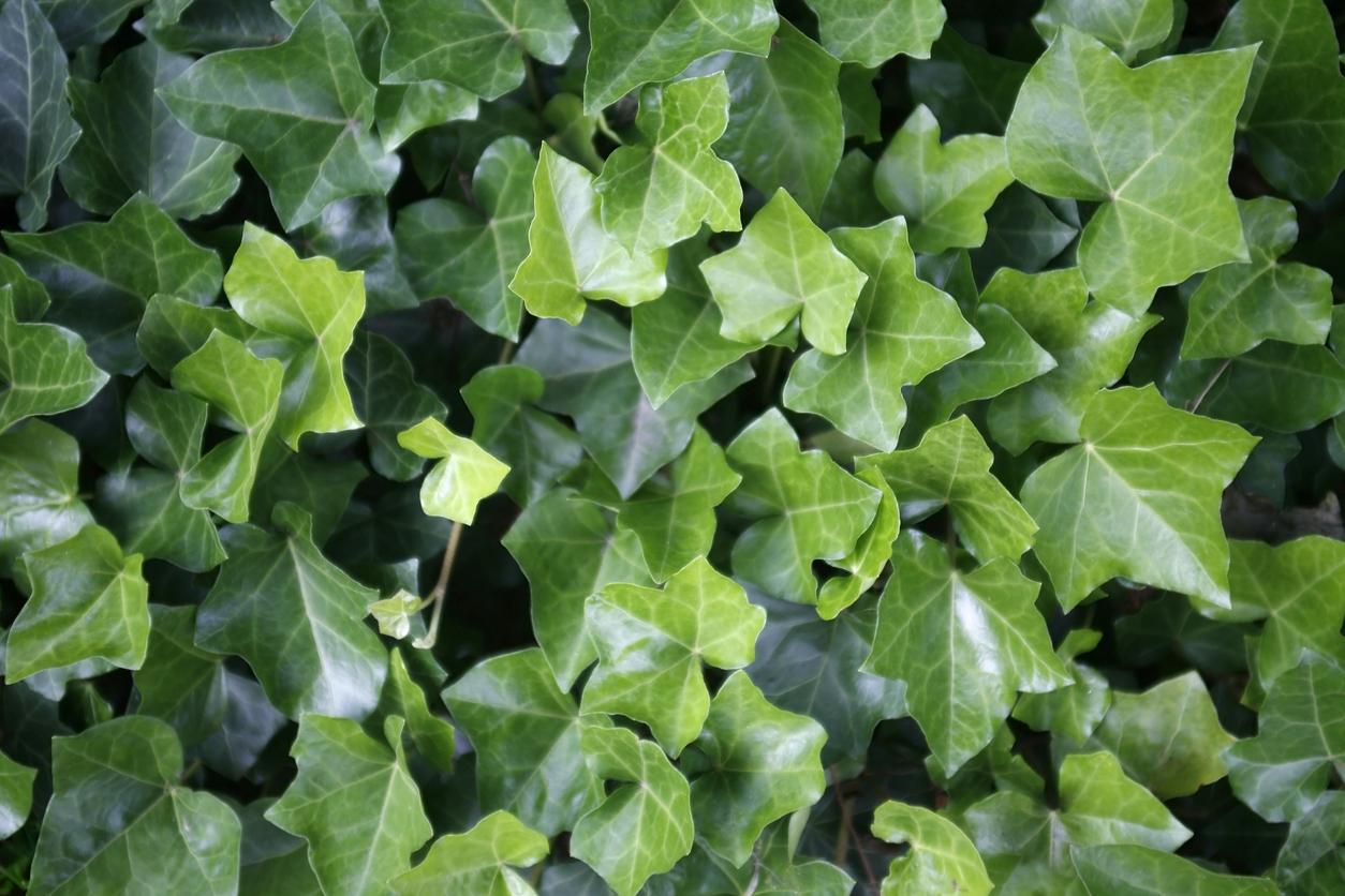ivy leaves closeup