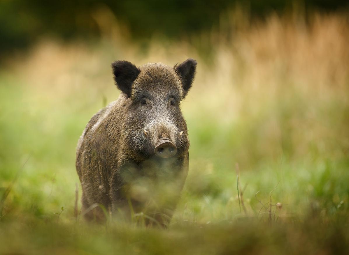 48% das UCs federais sofrem com espécies exóticas da fauna