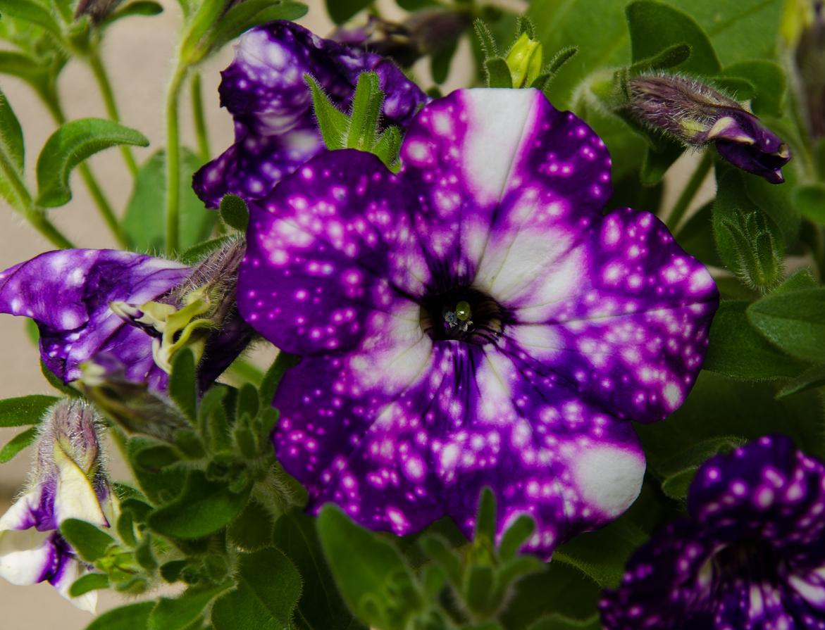 Conheça a flor que parece uma pequena galáxia